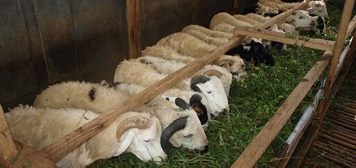 Hasil gambar untuk gambar ternak domba